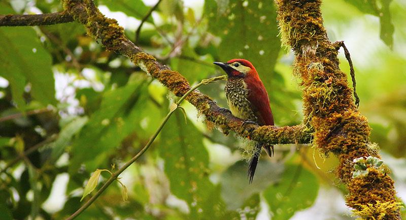 Pájaro Carpintero - Colombia
