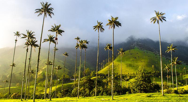 Árbol Nacional de Colombia