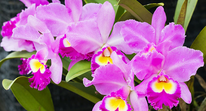 Orquídea de Colombia