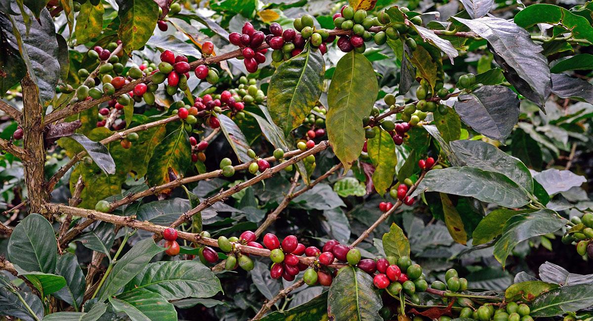 Cultivo de café - ShutterStock