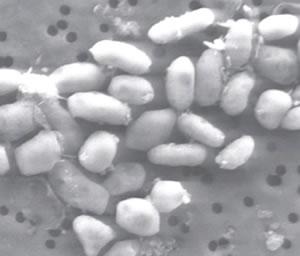 Hallan bacteria extraterrestre en la Tierra