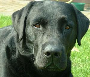 Los perros pueden oler el cáncer de colon