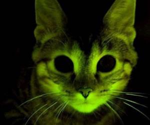 Crean gatos transgénicos resistentes al virus del Sida