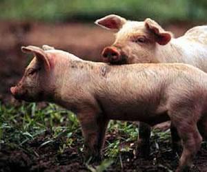 Muy cerca de trasplantar tejidos de animales en seres humanos