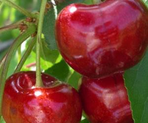 Si sufre de Gota, consume unas cuantas cerezas