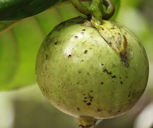 El Borojó - antiguo jugo de fruta energético