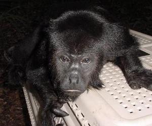 Monos aulladores darían pistas sobre hibridación de ancestros de humanos