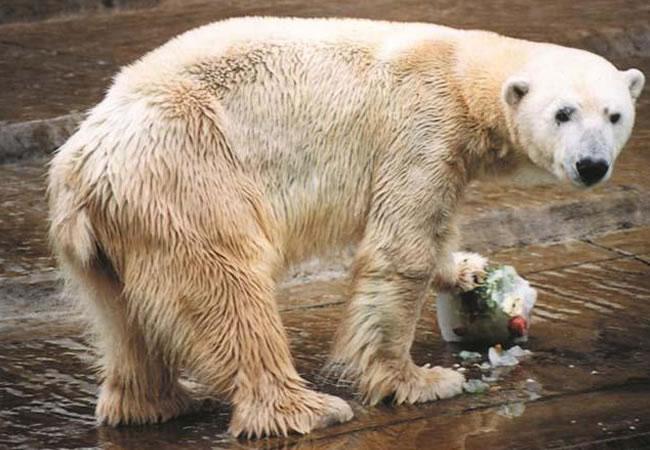 El único oso polar del zoológico de Buenos Aires murió por excesivo calor