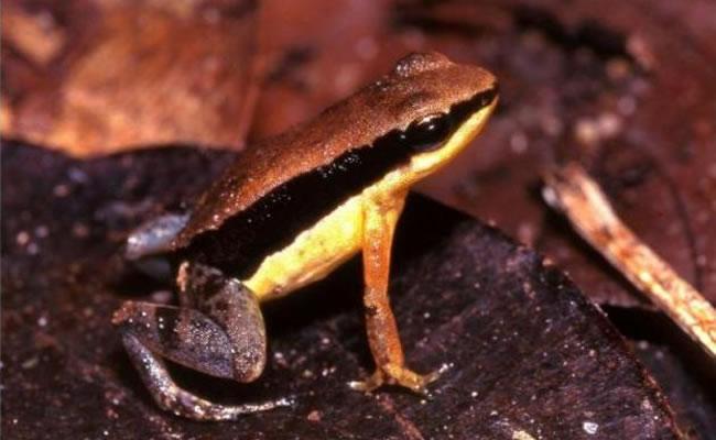 Un sapo amazónico practica la necrofilia para preservar la especie