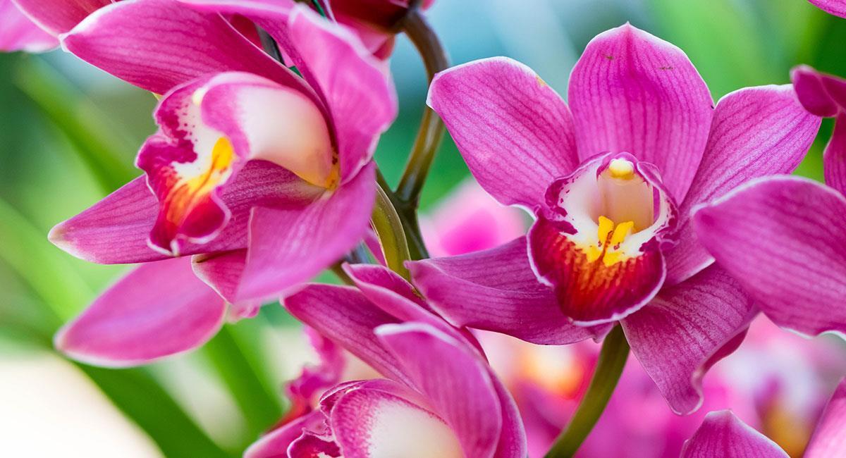 La orquídea es considerada la flor más bella entre las bellas. Foto: Shutterstock