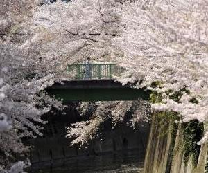 Cerezos que brotaron de semillas enviadas al espacio, asombran en Japón