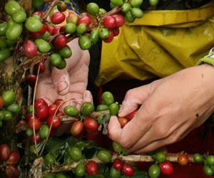 Colombia será la sede de la XXV Conferencia Internacional del Café y la Ciencia