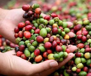 La FAO lanza herramienta tecnológica contra roya del café