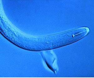 Un gusano podría detectar el cáncer en menos de 1 hora