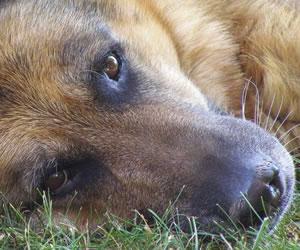 'Frankie' es el perro entrenado capaz de detectar cáncer de tiroides
