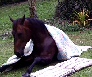 Youtube: Este caballo duerme como una persona