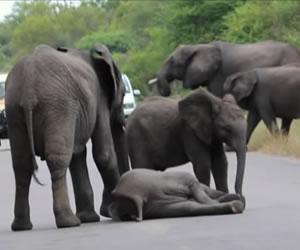 Elefante se desmaya y su familia llega a socorrerlo
