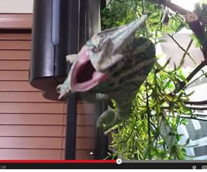 Pequeño camaleón piensa que es un feroz dinosaurio
