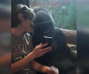 Un gorila de zoológico en EE.UU le gusta ver fotos en celular