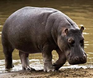 Conozca a 'Pepe' el hipopótamo mascota del barrio, Jorge Tulio Garcés