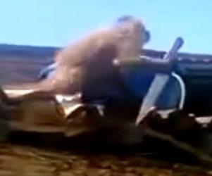 En video, mico borracho ataca con un cuchillo