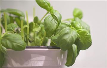 ¿Cómo sembrar plantas aromáticas en la casa?