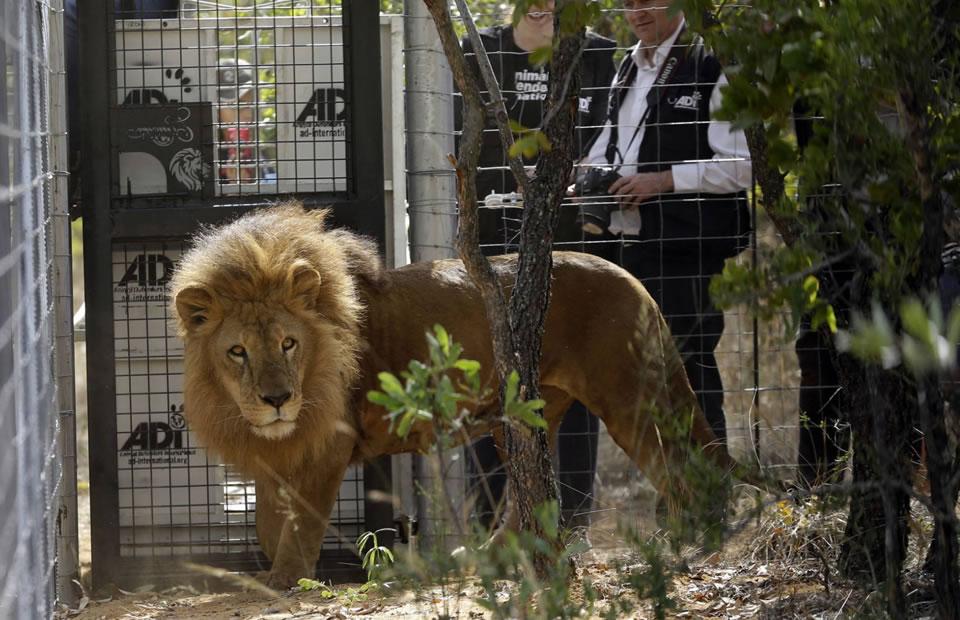 Traslado de leones de Colombia y Perú hacia África. Foto: EFE