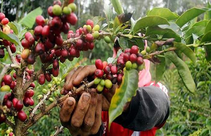 Producción cafetera de Colombia crece un 13% en abril