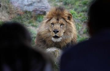 Hombre se arrojó a jaula de leones en Chile
