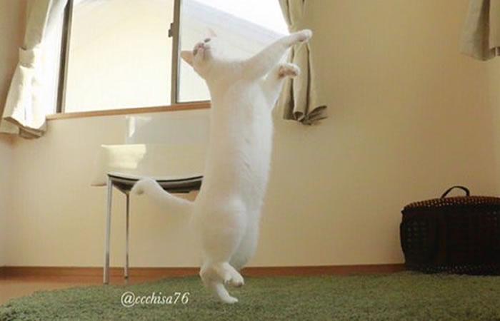 Mirko, el gato bailarin de ballet más famoso. Foto: Twitter