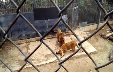 La nota del hombre que entró a jaula de leones en zoológico de Chile
