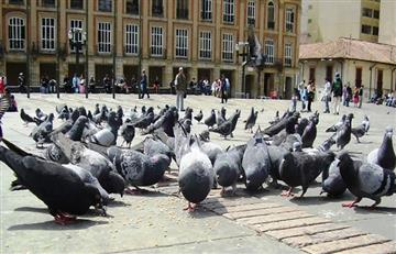 Concejo de Bogotá: Proponen palomas para la comida de indigentes