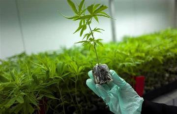 Cauca: el primer municipio en cultivar marihuana medicinal de manera legal
