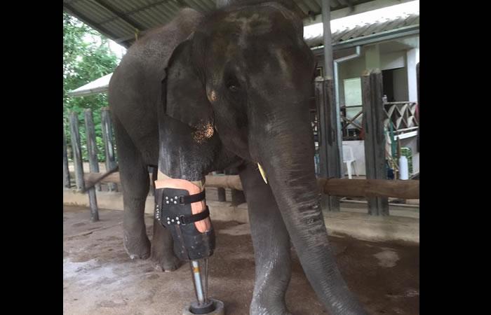 Facebook: Crean prótesis para la pata de un elefante mutilado