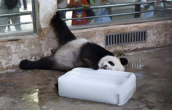 Panda desesperado abraza fuertemente un cubo de hielo