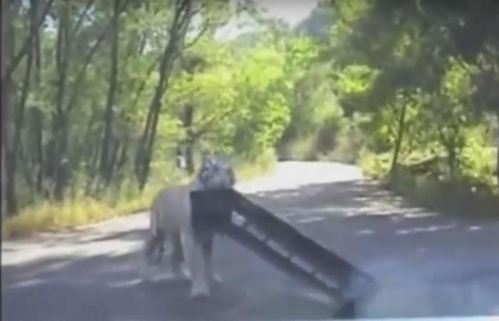 Tigre causa tensión a una pareja.Foto:Youtube
