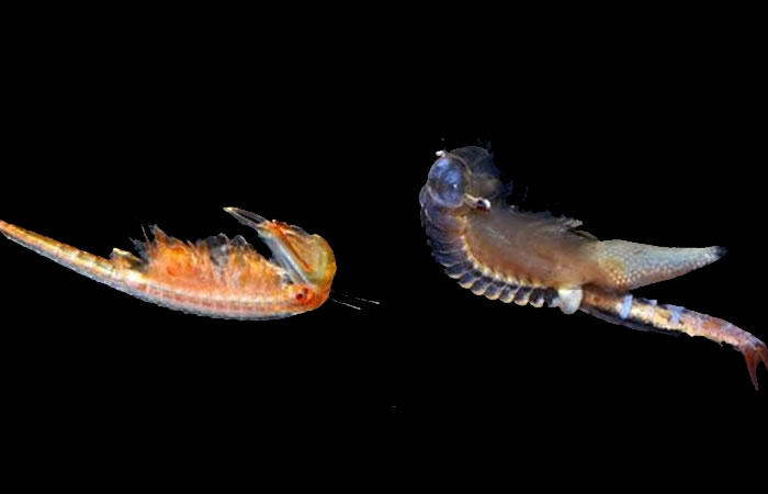 Hallan nueve especies de crustáceos supervivientes del Jurásico