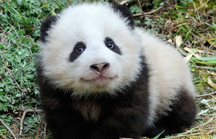 Panda gigante deja de ser una especie en peligro de extinción