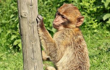 Monos logran escribir con solo sus pensamientos