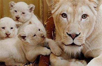Nacen cuatro leones blancos