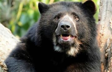 Descuartizan oso como amenaza a Parques Naturales