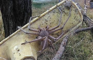 Esta araña podría ser la más grande hasta el momento