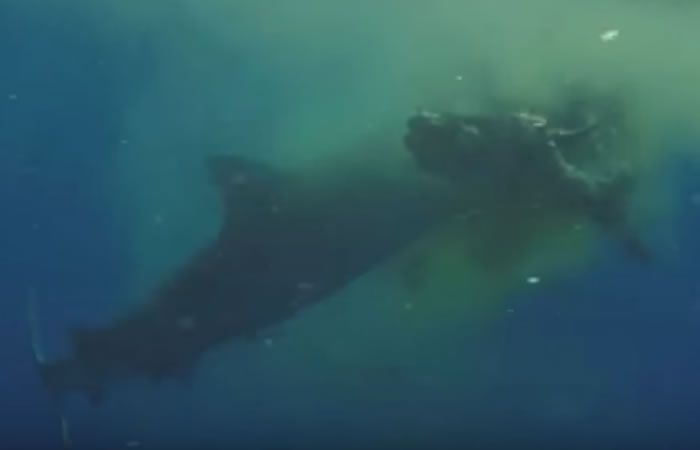 Youtube: Tiburón devorando una vaca logra ser grabado