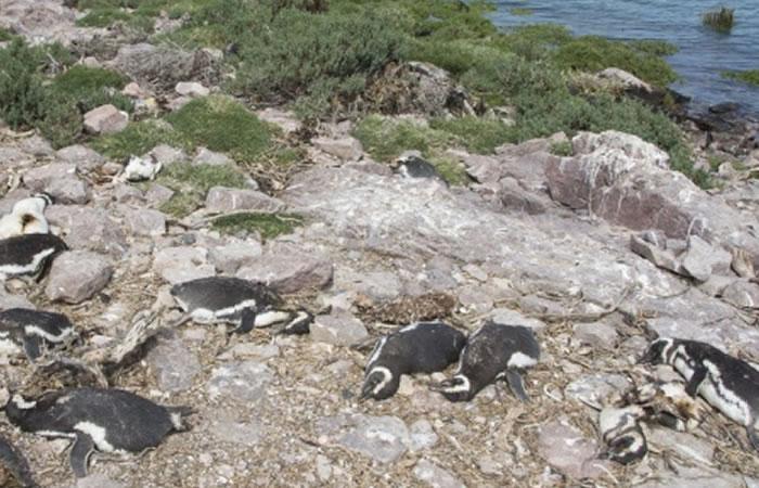 Cerca de 400 pingüinos aparecen muertos