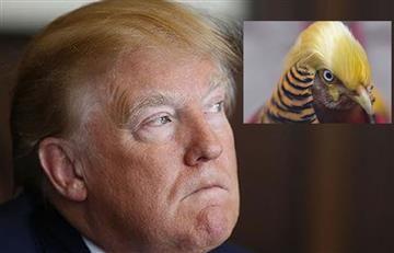 Donald Trump y su similitud con un faisán chino