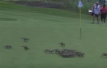 Mangostas irrumpen en pleno torneo de golf