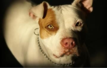 Juez perdonó a mujer que tuvo sexo con un pitbull