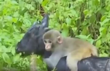 YouTube: Una cabra adopta como cría a un mono