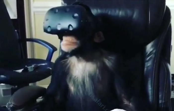 Instagram: Así reacciona un Chimpancé al experimentar gafas de VR