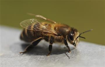 Crean abeja robótica capaz de polinizar como una real